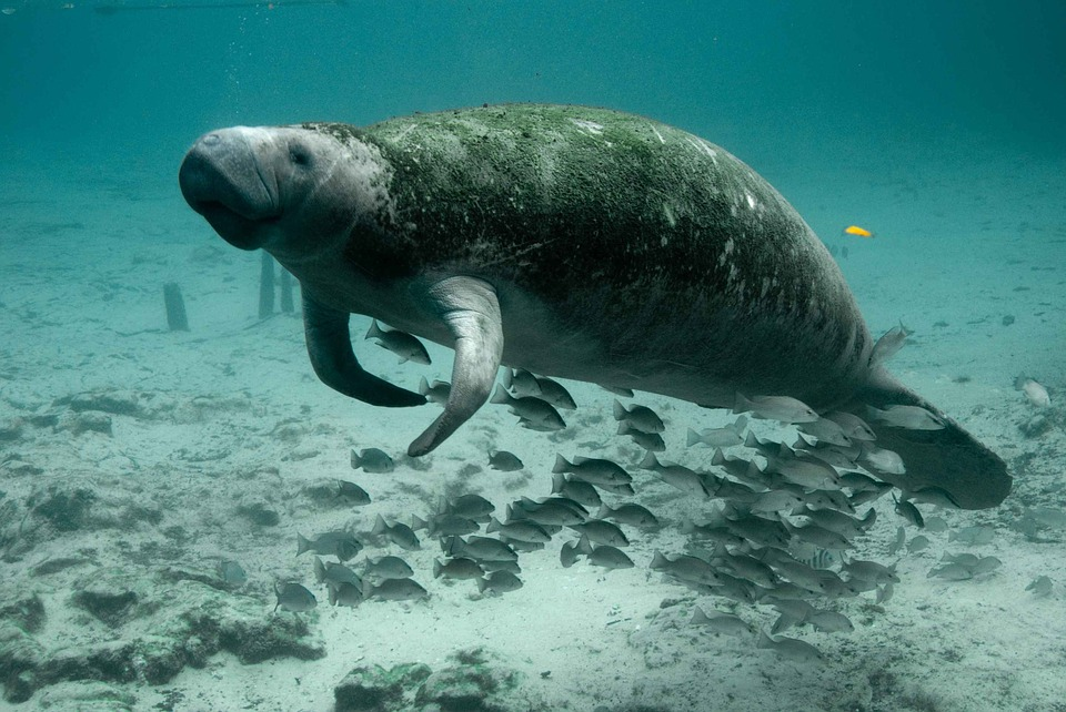 Boaters, Watch Out for Florida Manatees! | Riviera Dunes ...