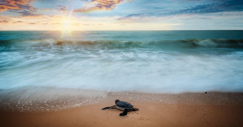 How To Navigate Through Sea Turtle Nesting Season in Sarasota