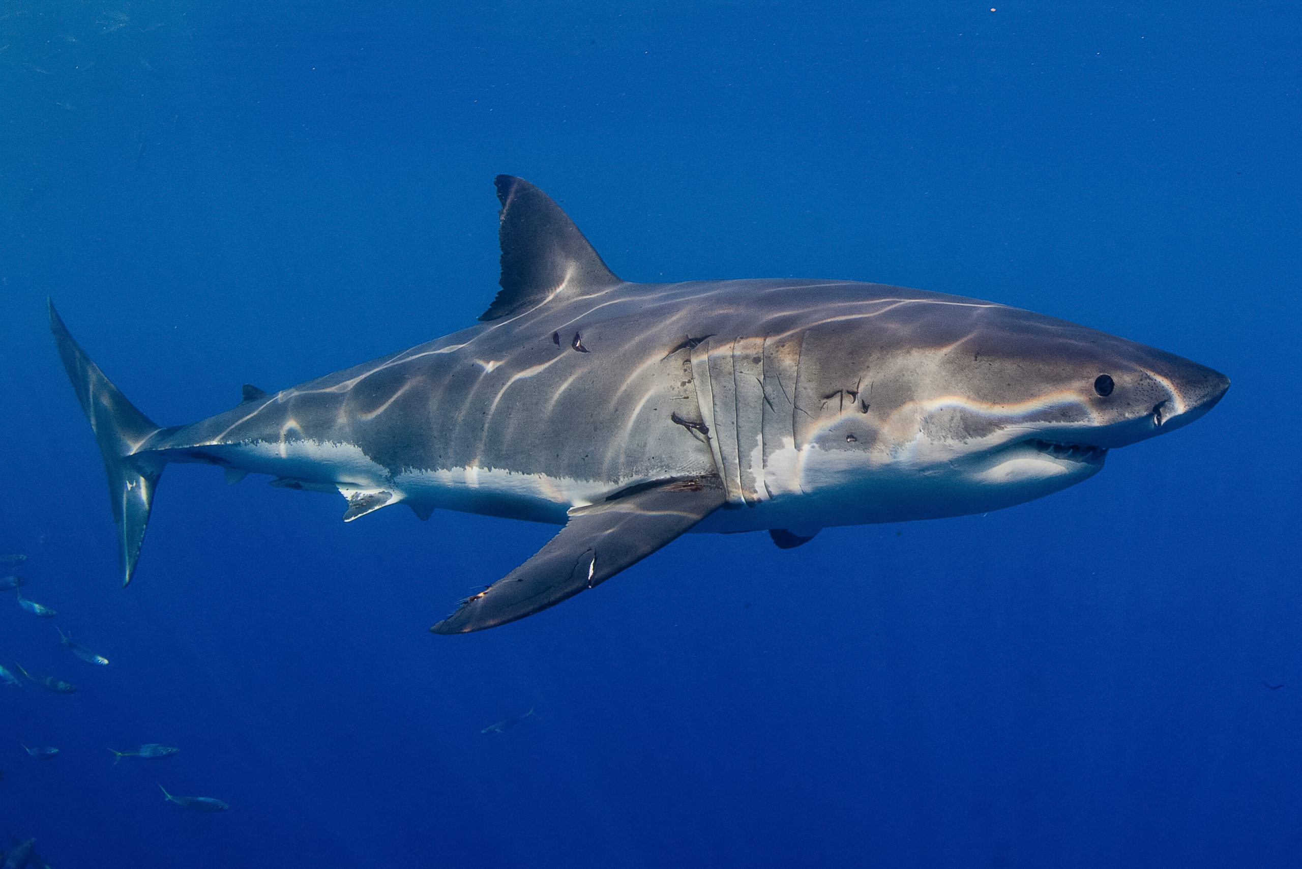 Great White Sharks Are Migrating To Florida's East Coast