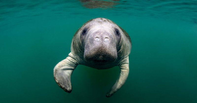 To Protect Manatees, Boating Safety Education is Encouraged