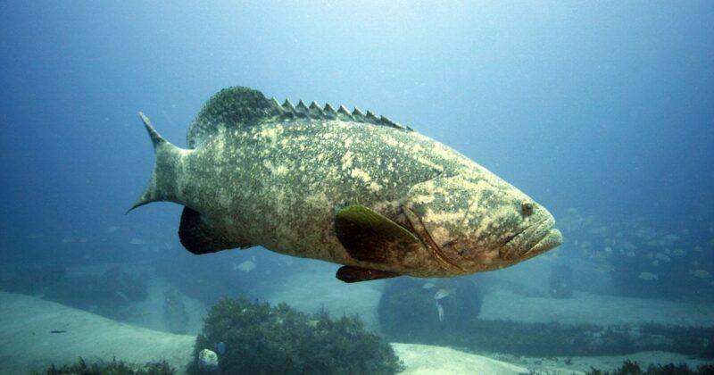 Florida Advances Possibility Of Fishing Goliath Groups Again