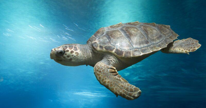 Loggerhead Sea Turtle Saved By Florida Officer